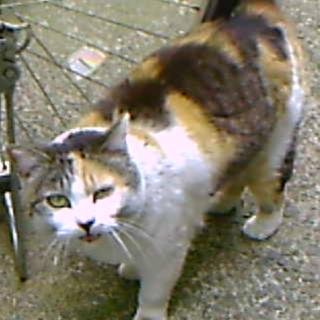 誰にでも懐いて抱っこされる10才の三毛猫02