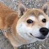 小ちゃい豆柴犬の「むすび」ちゃん