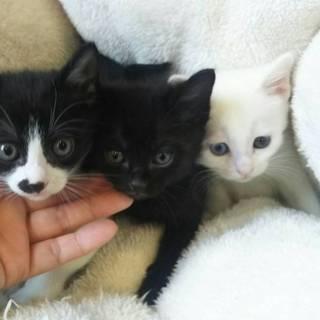 一旦停止1ヶ月白と黒と白黒の男の子3匹