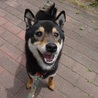 犬にも人にも友好的、元気で小柄な黒柴くんです♪