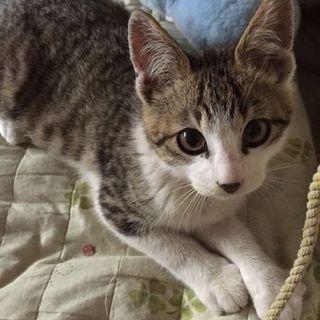 おめめくりくり!キジシロの子猫ちゃん