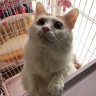 過保護になる!甘えん坊なノルウェージャン風美猫❤️