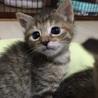 甘えっ子のキジトラ姉妹猫