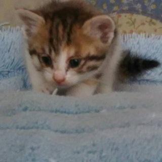 【募集一時中止中!】可愛い三毛猫の子猫です