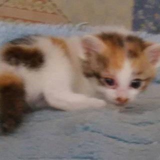 可愛い三毛猫の子猫です