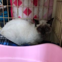 首輪付きのシャム猫を保護しています!情報提供求む!