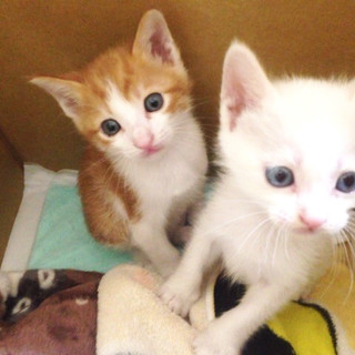 福岡市南区より生後1ヶ月半の兄妹猫!