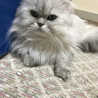 ペルシャ猫ホワイト里親さん募集中です!
