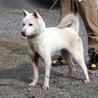 紀州犬 ショータイプの美犬(メス)1歳