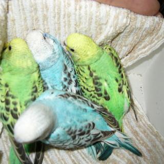 雛4羽 若鳥2羽( 雀サイズのミニです )募集中