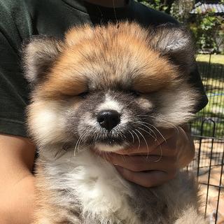 秋田犬の子犬(長毛。)