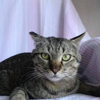 猫初心者向け べた慣れキジトラ雄2歳