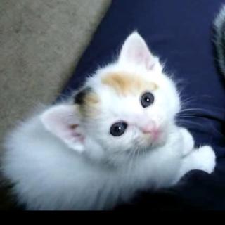個性的な模様をした可愛い三毛猫の子猫です♪