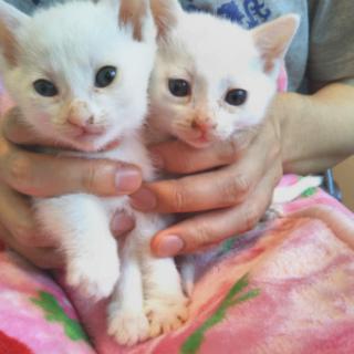 白子猫女の子2匹生後1か月少し