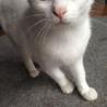 透き通るようなブルーの目の真っ白い猫です。