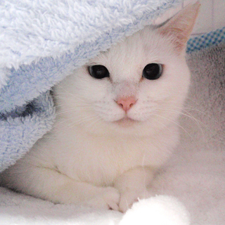 青い目の白猫☆莉々(りり)ちゃん 2才