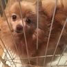 小型犬!!ポメラニアン♀