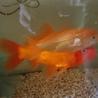 小さい方の金魚(オス)1匹