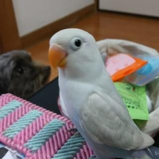 白ボタンインコの幼鳥の飼い主さん募集です!