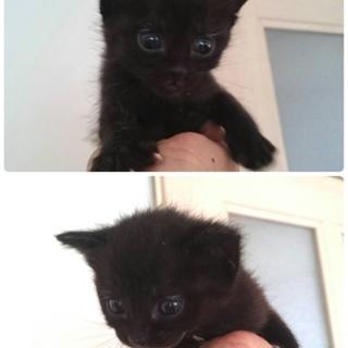 生後1ヶ月!可愛い黒猫兄妹♬