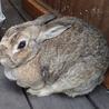 メスのウサギです サムネイル3