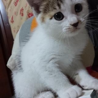 キジ子猫♀