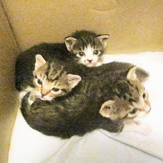 子猫生後3週間3匹オス予約受付中
