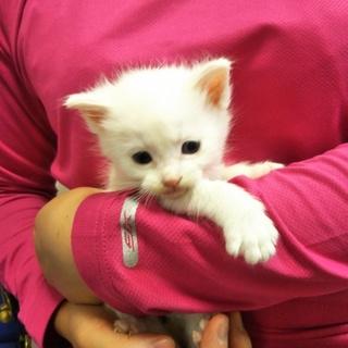 真っ白な子猫(離乳食)★すず★しっぽが短い