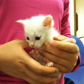 真っ白な子猫(離乳食)★らん★カギしっぽ