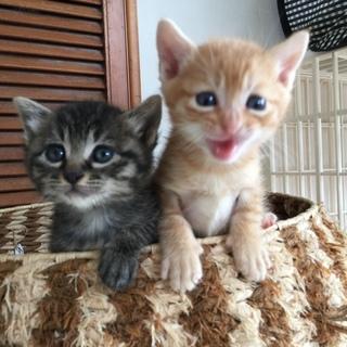 生後3週間弱 キジトラ♀ 美猫