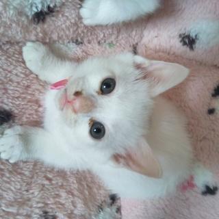 人気の白い子猫モモちゃん1か月少し