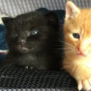 生後3週間弱 幸せ運ぶ 黒猫♂  クマさん顔