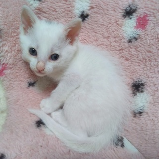 白い子猫生後1か月少しみどりちゃん
