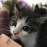 子猫 1匹の保護猫の里親募集です。