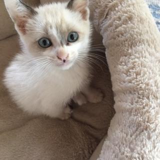 超美形シャム風青い目の子猫、2か月です