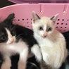 超美形シャム風青い目の子猫、2か月です サムネイル4