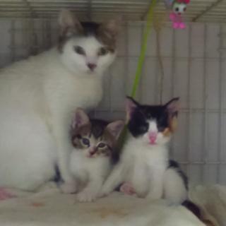 美猫白猫ママ2歳。三匹の子猫を立派に育ててます。