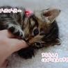 【一時停止】甘えん坊さんのキジトラ女子【煌桜】 サムネイル2