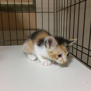 生後2ヶ月位の三毛猫です
