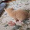 子猫 メス 2ヶ月 サムネイル2