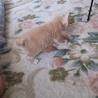 子猫 メス 2ヶ月 サムネイル3