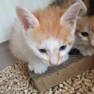 生後2ヶ月位の茶白の子猫です