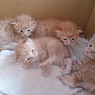 4/30生まれ茶トラの子猫、オス2匹です!