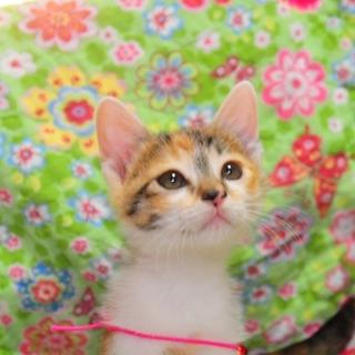 生後2ヶ月 キジ柄三毛猫ちゃん