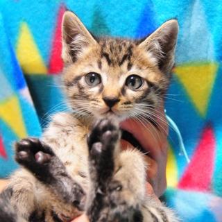 生後2ヶ月 グレー系キジ猫くん
