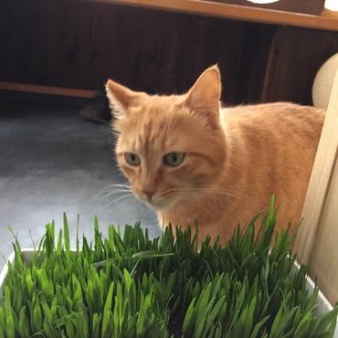 猫草、サイコー!!大好きです!