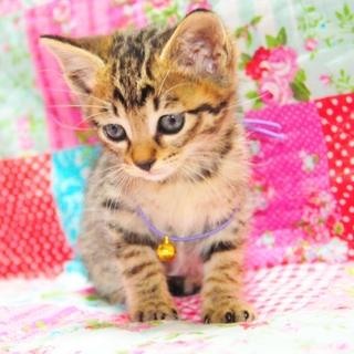 生後2ヶ月 ブラウングレーキジ猫