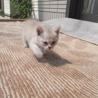 しっぽの短い子猫ちゃん