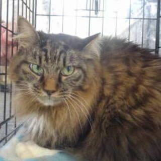 ふわふわの半長毛のハンサム猫です♪
