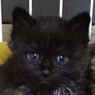 黒猫♀★長毛?★生後4週★甘えん坊